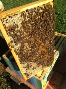 active bees on frame