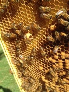 Queen cups in hive